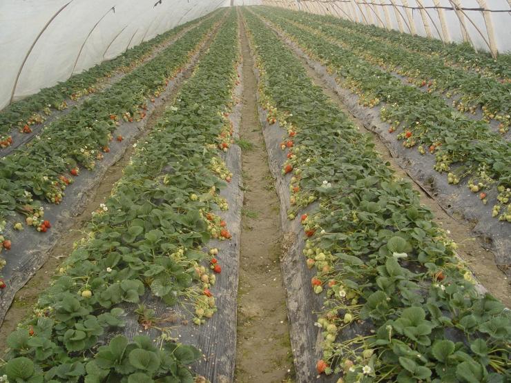 新闻:泸州古蔺大棚管泸州古蔺国强牌牛头牌大棚管拱管草莓棚4分-8寸