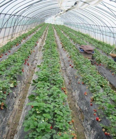 新闻:嘉兴南湖大棚管嘉兴南湖国强牌牛头牌大棚管拱管草莓棚4分-8寸